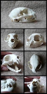 Domestic Cat Skull #2
