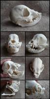 Juvenile French Bulldog Skull