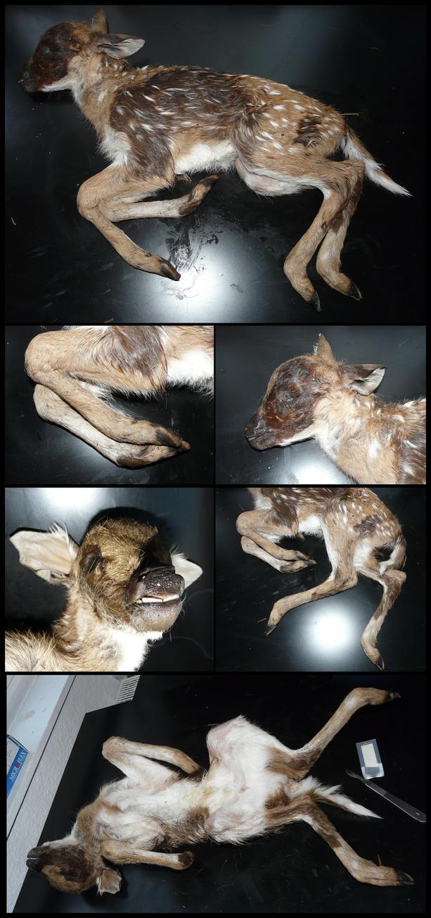 Anatomy: Axis Deer Calf by CabinetCuriosities on DeviantArt