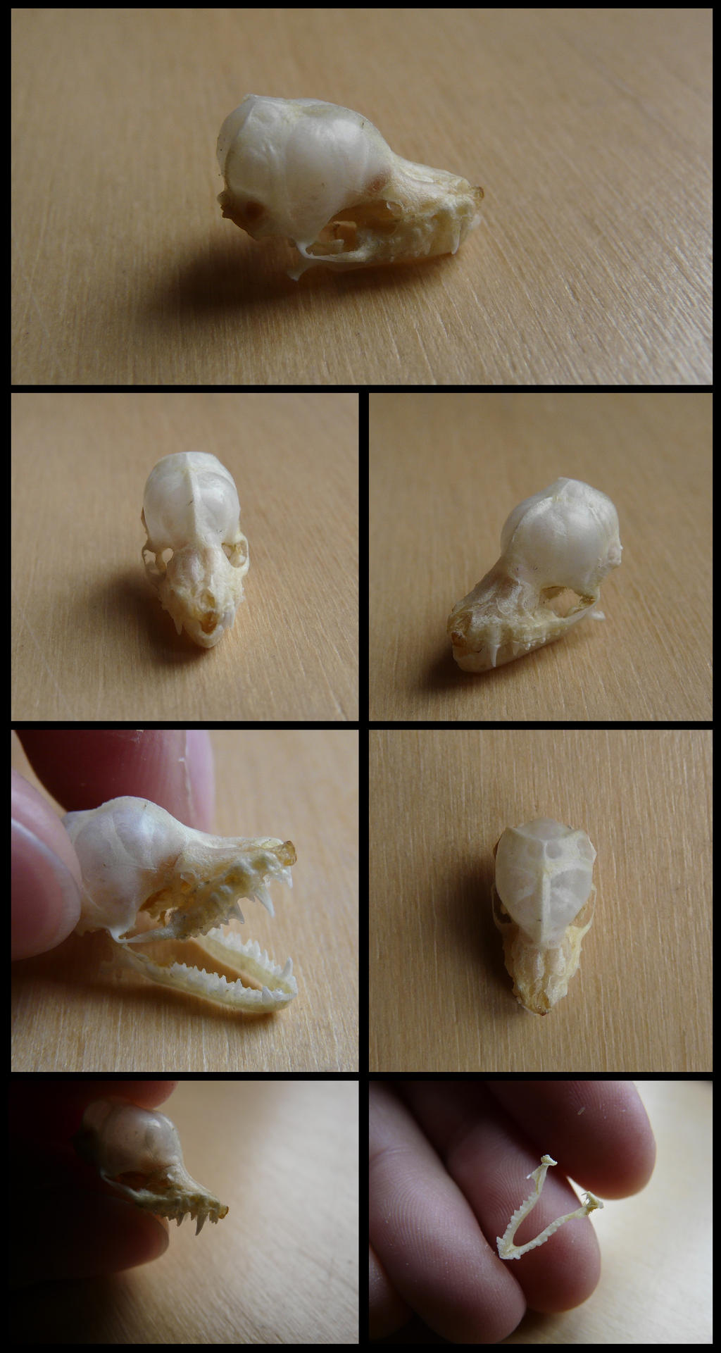 Intermediate Long-fingered Bat Skull by CabinetCuriosities