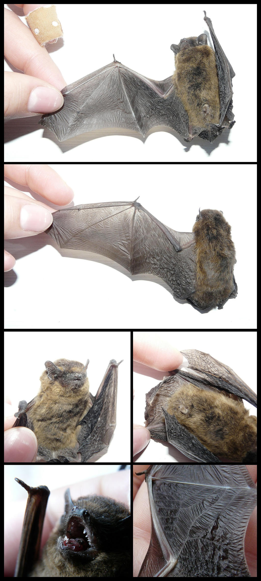 Anatomy: Bat by CabinetCuriosities