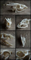 Muntjac Skull #2