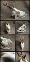 Roe Deer Skull #2