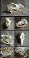 Unknown Breed Dog Skull With Bone Cancer by CabinetCuriosities