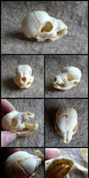 Juvenile Beagle Skull by CabinetCuriosities