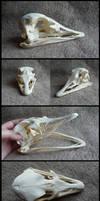 Ostrich Skull by CabinetCuriosities