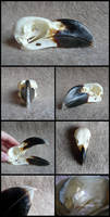 White-Necked Raven Skull by CabinetCuriosities