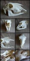 Sheep Skull #2 by CabinetCuriosities