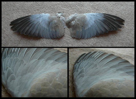 Collared Dove Wings