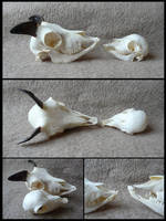 One day old mouflon Skull SOLD