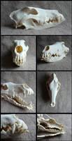 Rough Collie Skull