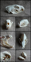 Fisher Marten Skull