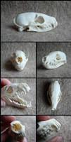 Flat-Headed Kusimanse Skull by CabinetCuriosities