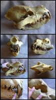 Giant Hyena Skull by CabinetCuriosities