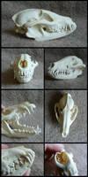 Raccoon Dog Skull