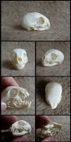 Juvenile Meerkat Skull by CabinetCuriosities