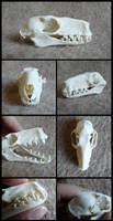 Hammer-Headed Bat Skull
