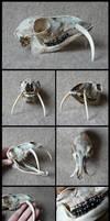 Siberian Musk Deer Skull by CabinetCuriosities