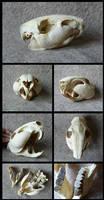 Lowland Paca Skull by CabinetCuriosities