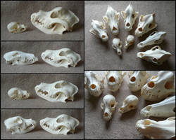 Comparison: Dog Skulls #2 by CabinetCuriosities