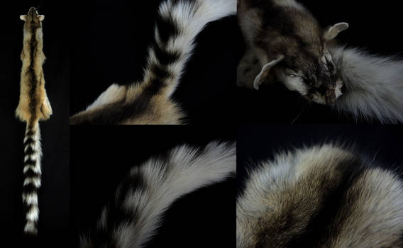 Ringtail Cat Pelt