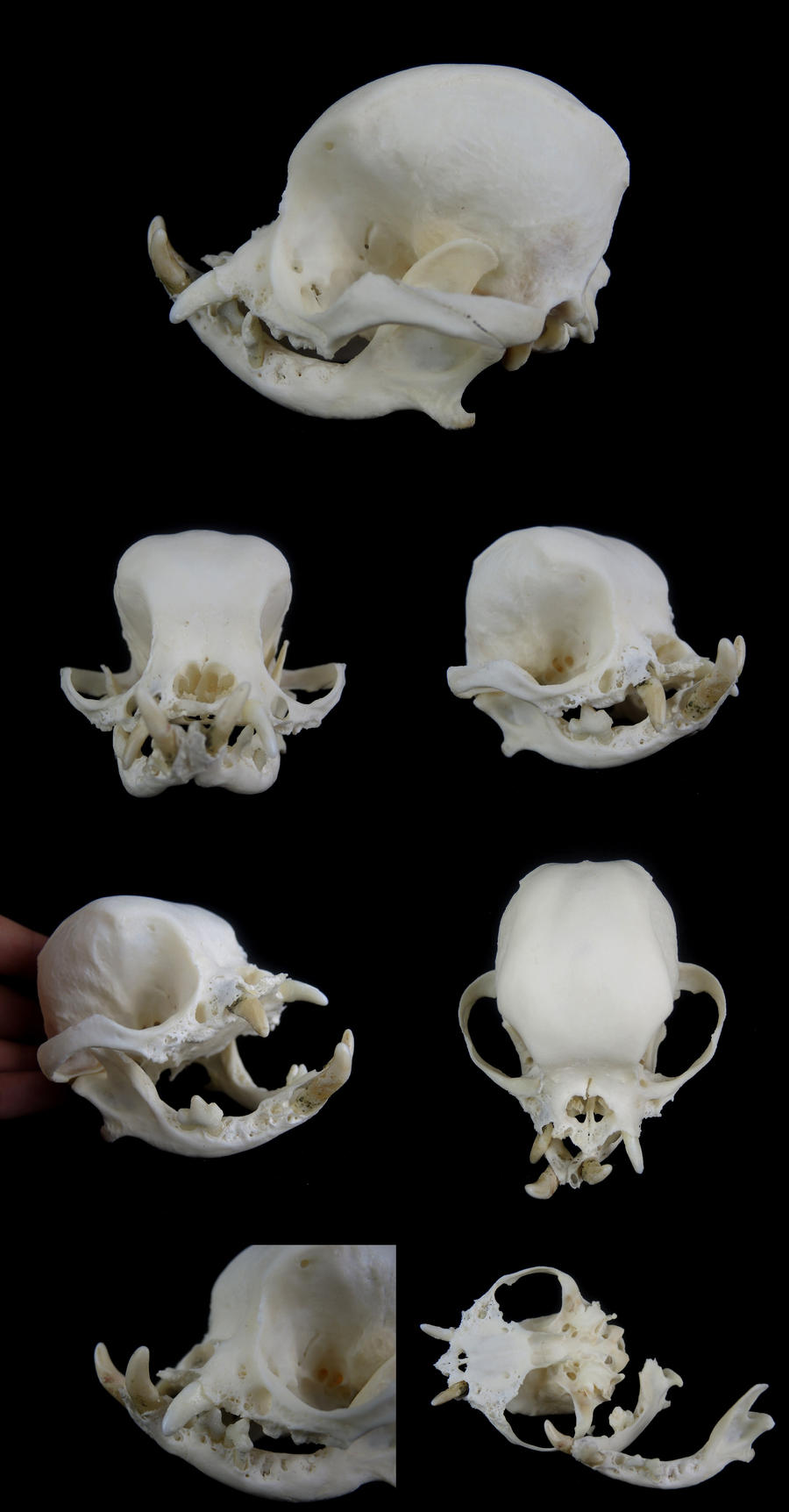 pug skulls pug skull by cabinetcuriosities on deviantart 3848