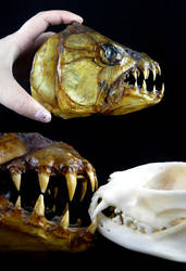 Goliath Tiger Fish Head by CabinetCuriosities