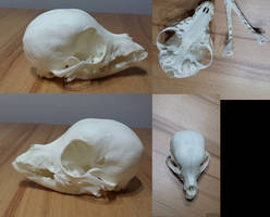 Chihuahua Skull FOR SALE by CabinetCuriosities