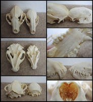 Monster Raccoon Skull by CabinetCuriosities