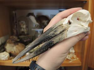 African Openbill Skull