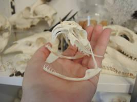Gaboon Viper Skull