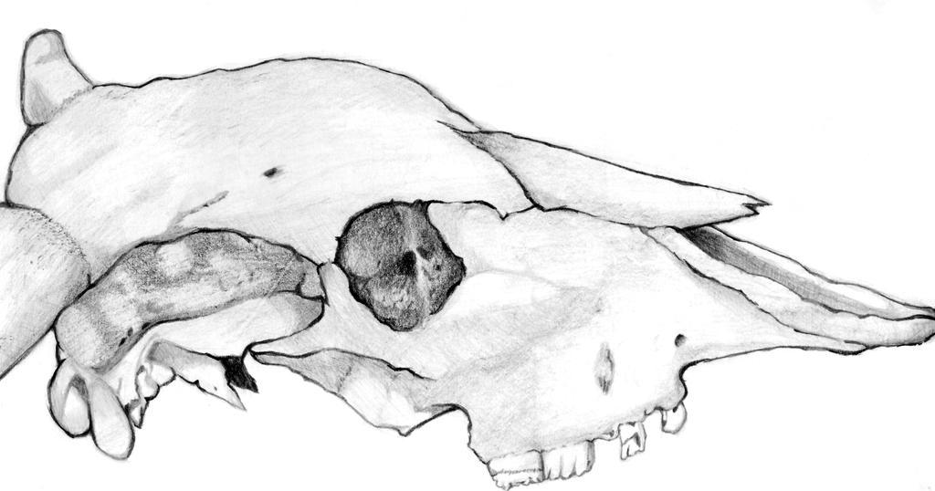 Estudio craneo toro by mirhiel