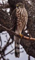 1/1 Cooper's Hawk