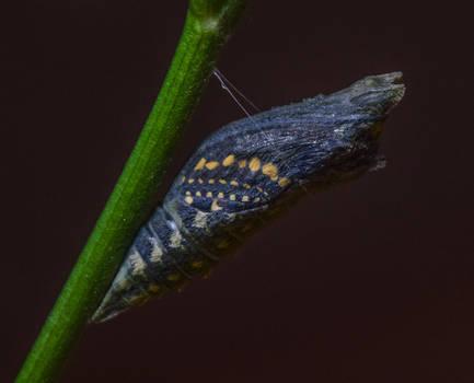 8-18-19 Black Swallowtail Pupa Hatching 1