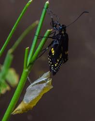 8-18-19 Black Swallowtail Pupa Hatching 5