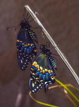 8-18-19 Black Swallowtail Pupa Hatching 7