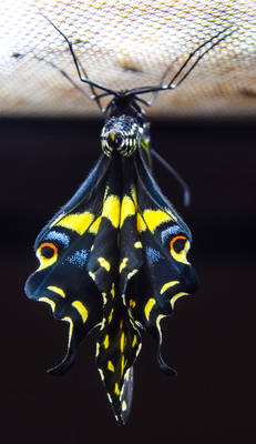 8-18-19 Black Swallowtail Butterfly