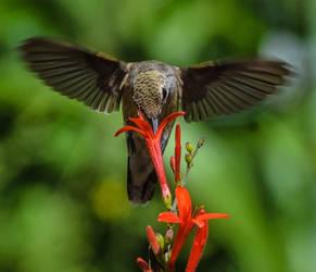 8-19-19 Hummingbird