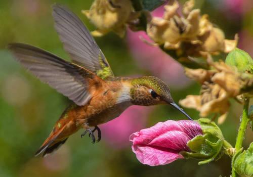 8-31-19 Female Rufous Hummingbird