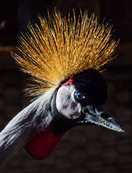 East African Crane