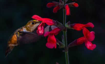 10-15 Rufous Hummingbird
