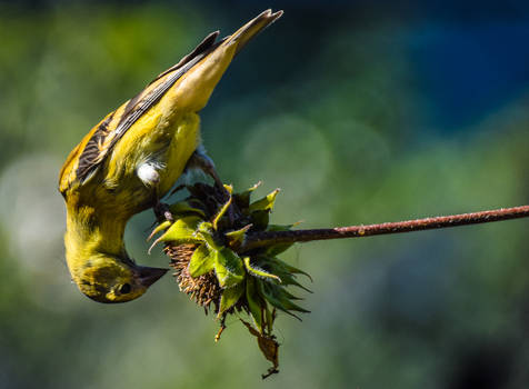 10/17/19 Lesser Goldfinch