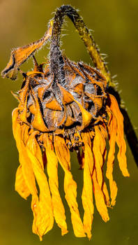 11/10/19 Sunflower