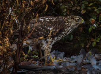 11/26/19 Young Cooper's Hawk
