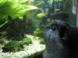 guinea pig, meets, fish tank by midori-hikari