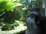guinea pig, meets, fish tank