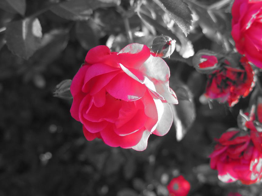 CVECE - Page 7 Red_rose_by_sskellington1-d4h89sk
