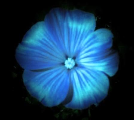 Midnight Flower by Cakobelo on DeviantArt