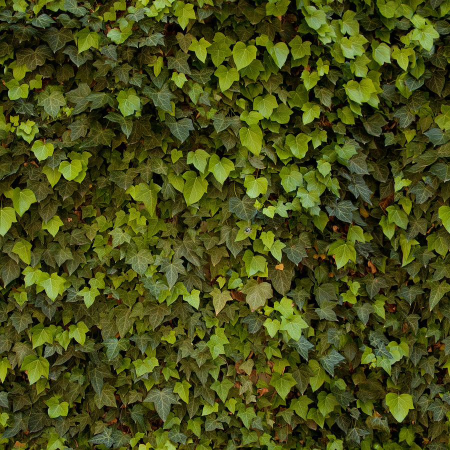 Tiling Ivy Texture