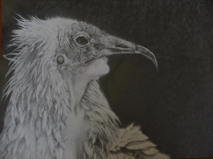 egyptian vulture drawing - photo #46